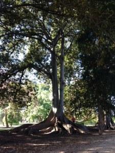 Botanic Gardens of Adelaide tree, @prakky Instagram