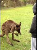 Prakky Socialcam example: thieving kangaroo